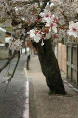 100409_sakura.jpg