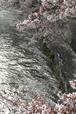 100410_sakura.jpg