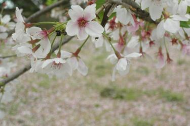 100411_sakura.jpg