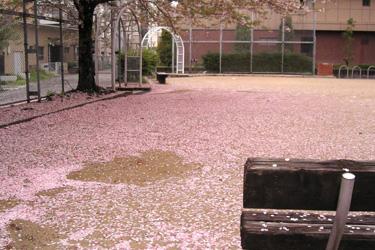100413_sakura.jpg