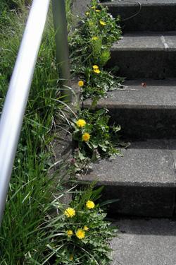 100422_dandelions_steps.jpg