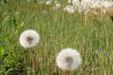 100506_the-fluff-of-a-dandelion.jpg