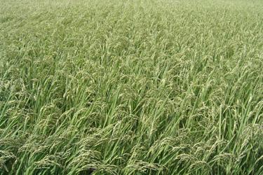 100727_rice_field.jpg