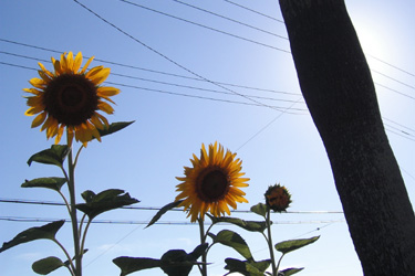 100802_sunflowers.jpg