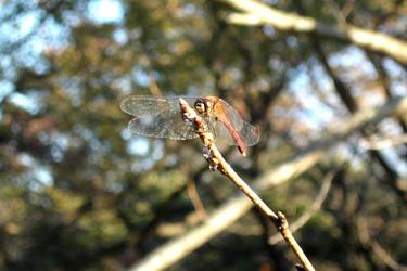 101104_red_dragonfly.jpg