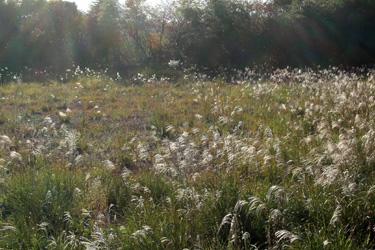 101107_pampas_grass.jpg