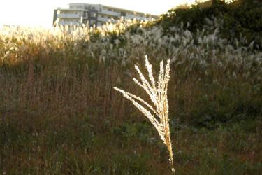 101119_pampas_grass.jpg