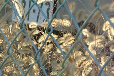 110330_pampas_grass.jpg