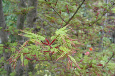 110416_maple_leaves.jpg