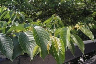 110505_sakura_leaves.jpg