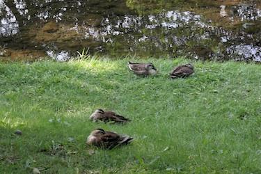 110516_ducks.jpg
