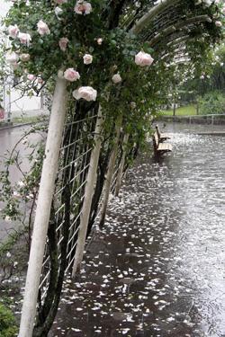 110528_rainy_roses.jpg