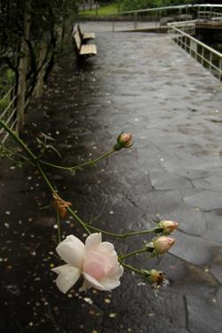 110619_rainy_roses.jpg
