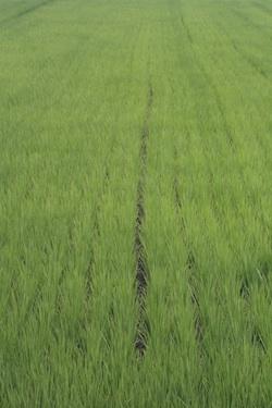 110701_rice_field.jpg