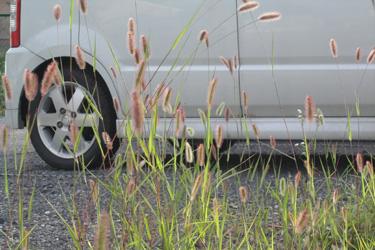 110824_pampas_grass.jpg