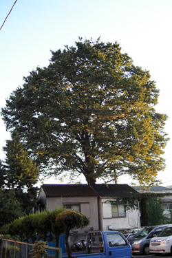 110919_mother_tree.jpg