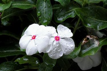110920_white_flowers.jpg