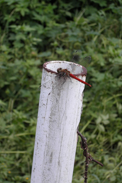 110927_red_dragonfly.jpg