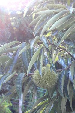 111001_chestnuts.jpg