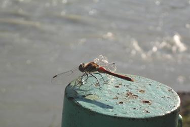 111014_red_dragonfly.jpg
