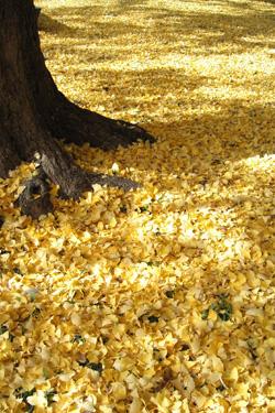111207_ginkgo_carpet.jpg