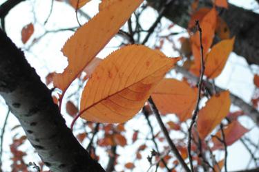 111210_maple_leaves.jpg