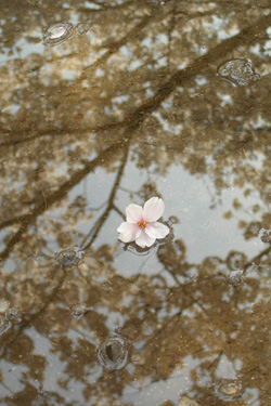 120413_floating_sakura.jpg