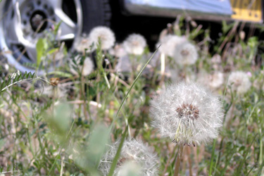 120430_dandelion_parking.jpg