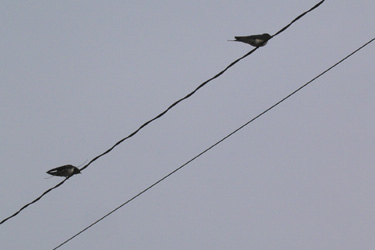 120505_swallows.jpg