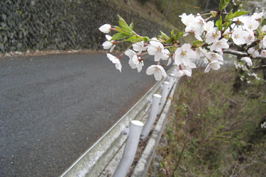 120509_yamazakura.jpg