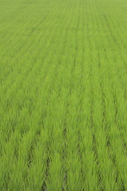 120706_rice_field.jpg