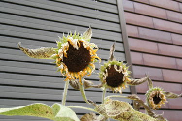 120908_sunflowers.jpg