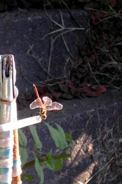 121007_red_dragonfly_.jpg