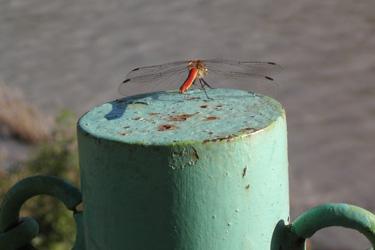 121009_red_dragonfly.jpg