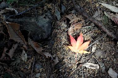 121107_maple_leaf.jpg