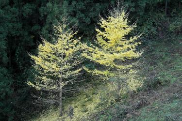 121113_yellow_trees.jpg