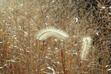 130110_pampas_grass.jpg