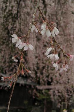 130402_rainy_sakura.jpg
