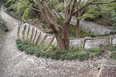 130406_sakura_road.jpg