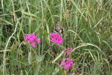 130518_swallowtail.jpg