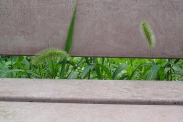 130628_pampas_grass.jpg