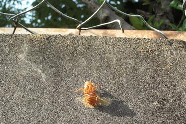 130717_cicada.jpg