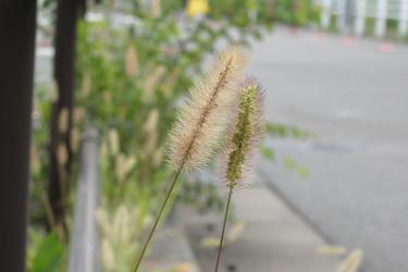 130820_pampas_grass.jpg