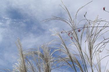 130924_pampas_grass.jpg