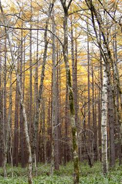 131102_larch_trees.jpg