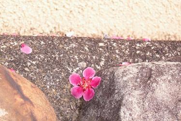 140306_fallen_flower.jpg
