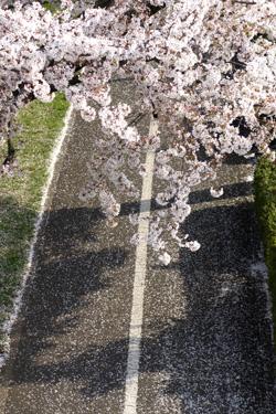 140327_sakura_pavement.jpg