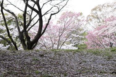 140330_sakura_river.jpg