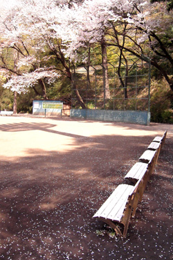 140401_sakura_ground.jpg