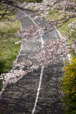 140407_sakura_way.jpg